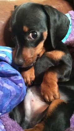 Puppy teckel