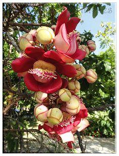 Flor de Abricó também conhecida pelo nome Abricó de Macaco foto tirada em Guaiuba - Ceará - Brasil | por HERYCH XIMENES