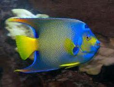 saltwater angelfish - Google Search