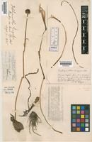 Habranthus longipes
