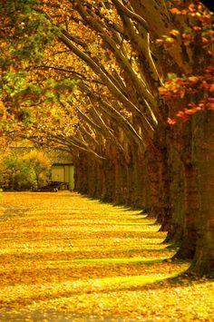 Tree row in fall.
