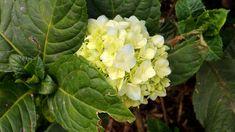 Como fazer mudas de Hortênsias, Hydrangea macrophylla, Jardinagem, Plantas decorativas,