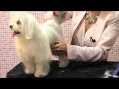 PELUQUERÍA CANINA BICHON MALTES. Como cepillar un Bichon Maltes. MALTESE GROOMING - YouTube