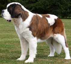 I love dogs! Bernard, just like this one :) as a second dog when we have a backyard Love My Dog, Short Haired St Bernard, Chihuahua Dogs, Dogs And Puppies, Doggies, Spaniel Puppies, Cute Baby Animals, Animals And Pets, Big Dogs