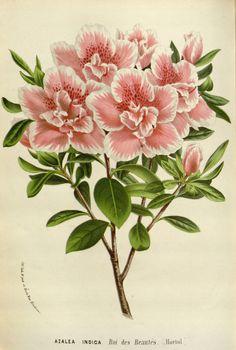 1845 Flore Des Serres Lithograph Smart Van Houtte Azalea