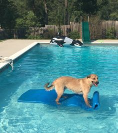 Pilot loves the pool!   http://ift.tt/2auKS6U via /r/dogpictures http://ift.tt/2aA37ZO  #lovabledogsaroundtheworld