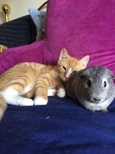 And these two who just want you to come join their snuggle session. | 26 Guinea Pigs Who Will Make You Smile The Most