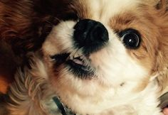 Cavalier King Charles Spaniel Dog and Photos - Dog Breed / Dog ...