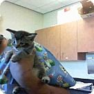 Check out A644603, an adoptable Abyssinian on Adopt-a-Pet.com.