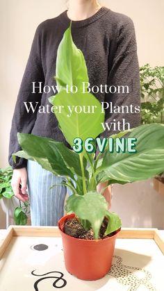 Water Plants, Potted Plants, Garden Plants, Indoor Plants, Easy House Plants, House Plants Decor, Plant Decor, Decoration Plante, Inside Plants