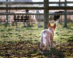 Red heeler= cow dawg ;)