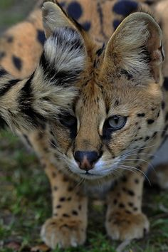 Serval Tail by Josef Gelernter Source: porcvpine Big House Cats, Big Cats, Cats And Kittens, Cute Cats, Beautiful Cats, Animals Beautiful, Cute Animals, Savanna Cat, Grand Chat