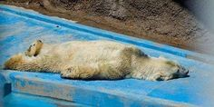 Flat out: Arturo sits in a concrete enclosure at Mendoza Zoo in Argentina in temperatures of up to 40C (104F) and is said to have been depressed since his long-term friend Pelusa died two years ago