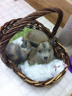 Baby Goat in a Basket With Kittens, Nothing Cutier