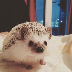 Hello!🐾💕😍#loveit #lovely #hedgehog #hedgehogs #hedgie #hedgies #hedgehogsofinstagram #pet #pets #petstagram #exotic #exoticpet #animal #animals #exoticanimal #photo #photos #photography #photooftheday #picoftheday #picture #pic #pics #sweet #lovepet #loveanimals #petlover