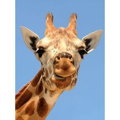 OUR ANIMALS MAMMALS GIRAFFE ❤ liked on Polyvore featuring home, home decor, animals and giraffe home decor