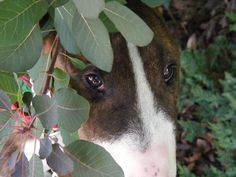 """putting their faces into foliage many bull terriers """"trance,"""" and just stay still for a while, I wonder where they go?"""
