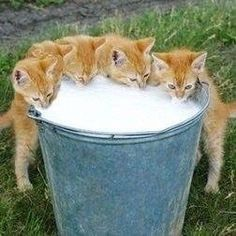 A Bucket of Milk with Kittens