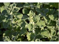 Jablečník obecný Marrubium vulgare Herbs, Herb, Medicinal Plants