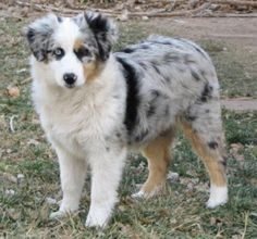 Miniature Australian Shepherds.  My dream dog: one blue, one brown eye and fur coloration similar to this one.  Someday.