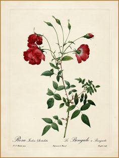 "All sizes | Pierre-Joseph Redouté ""Les Roses - Rosa Indica Sertulata"" 1819-24 | Flickr - Photo Sharing!"