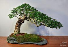 Ligustrum vulgare bonsai, San Juanín bonsai, Privet bonsai, bonsai, Arbolinos y Piedres