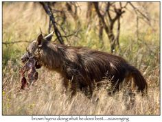 Brown hyena on the scavenge. Brown Hyena, South Africa, Safari, Hunting, Horses, Animals, Image, Animales, Animaux