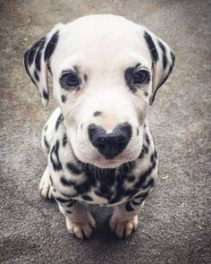 Dalmatian puppy with heart on the nose. Related posts: Dog Supplies, Lhasa Apso Puppy, – Ideas For Puppy, Animals Cutest Dogs. Top Cutest Dogs Giving Puppy Dog Eyes cute Funny Animal Photos, Cute Funny Animals, Cute Baby Animals, Funny Dogs, Animals And Pets, Animal Pictures, Photos Of Animals, Animal Memes, Funny Photos