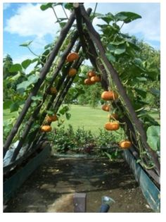 Easy Way To Grow Pumpkin In A Smaller Space :)