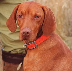 """Another Look At Vizslas - Gun Dog Magazine """"My aunt's husband was a doctor, and he get from the patient a puppy, but they did not like dogs, so they give it to me."""" """"I get that dog; we did everything,"""" he says softly. """"And I could not forget that dog."""""""