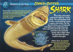 Name: Cookie-Cutting Shark Category: Monsters of the Deep Card Number: 66 Front: Cookie-Cutter Shark Monsters of the Deep Card 66 front Back: Cookie-Cutter Shark Monsters of the Deep Card 66 back Trading Card: Weird Sharks, Kaa The Snake, Types Of Sharks, Shark Facts, Big Shark, Monster Book Of Monsters, Underwater Creatures, Wild Creatures, Animal Species