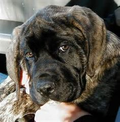 Brindle English Mastiff - Yahoo Image Search Results