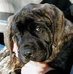 Brindle English Mastiff - Yahoo Image Search Results