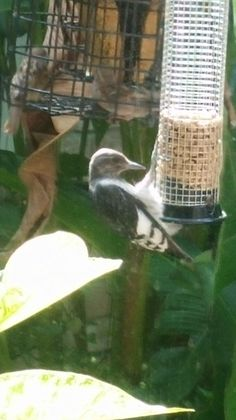 Juvenile red head woodpecker