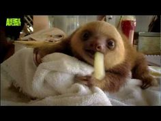 Baby Sloths Need Love