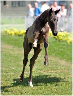 Frisky Foal by KonikPolski.deviantart.com on @deviantART - A Dutch Warmblood colt, bred for dressage. His name is Flintstone