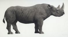 Jonathan Delafield Cook - Siavuwi, the black rhino from Western Plains Zoo, Dubbo. 1998. Charcoal on Canvas. Hanging in Westmead Children's Hospital