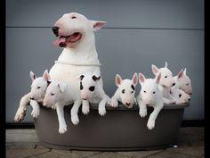❤️ Bull Terriërs