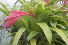 """Billbergia pyramidalis striata  Red flowered """"Summer Torch""""; irregularly yellow-banded stiff leathery leaves tightly overlap into an impressively outflared erect urn of striped foliage. Impressive yet easily grown Bromeliad equally at home as a windowsill or as a hobby greenhouse citizen. Easy and showy, as well as tolerant of considerable exposure to the elements and thus enjoying considerable popularity as the """"Thriller"""" in outdoor summer urns and patio containers."""