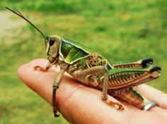 Oversized grasshoppers known as lubbers flourish some summers in the Flint Hills. Photo by Casey Berner in Greenwood County, Kansas. Grasshopper Pictures, Flint Hills, Praying Mantis, Crickets, Felt Hearts, Beetles, Natural Wonders, Wonders Of The World, Missouri