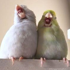 parrotlet meme at DuckDuckGo Funny Birds, Cute Birds, Pretty Birds, Cute Funny Animals, Beautiful Birds, Animals Beautiful, Cute Creatures, Beautiful Creatures, Bird Pictures