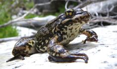 Still but watchful - a mountain yellow-legged frog.