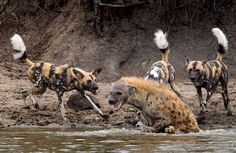 This Hyena Was Cornered By A Pack Of Wild Dogs, But What It Does Next Is Genius - Page 7 of 7 - flipopular