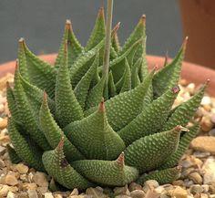 Haworthia limifolia v.gigantea