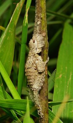 Katydid Nymph (Pseudophyllinae, Cymatomerini, Olcinia or Sathrophyllia sp.) | Flickr - Photo Sharing!