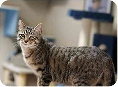 Pictures of VINNY a Domestic Mediumhair for adoption in Dallas, TX who needs a…