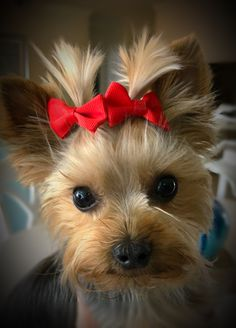 Yorkshire Terrier – Energetic and Affectionate Cute Baby Animals, Animals And Pets, Funny Animals, Yorky, Cute Funny Dogs, Silky Terrier, Yorkshire Terrier Puppies, Yorkie Puppy, Happy Puppy