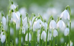 Article: Where to see snowdrops this spring, from NGS gardens to the Scottish Snowdrop Festival and the best snowdrop gardens by county