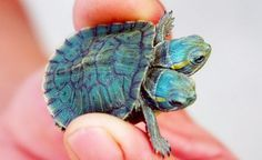 Baby Turtle Born with Two Heads Discovered in China   Cleveland Leader