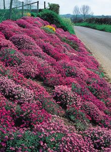 Groundcover plants such as Aubrieta are excellent for steep banks - they suppress weeds, help stabilize the soil, and are low maintenance. (click for more groundcovers)